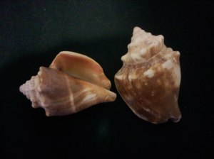 sea shells - conchs