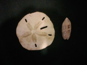 sea shells - sand dollar and olive