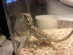 my bearded dragon