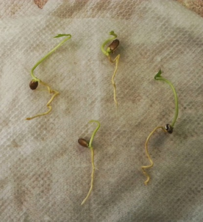 meyer lemon seedlings May 2014