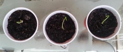 meyer lemon seedlings planted 5-14-14
