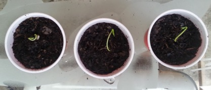 meyer lemon seedlings planted 5-14-14