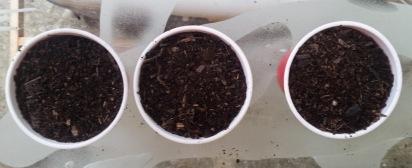 meyer lemon tree pots with dirt