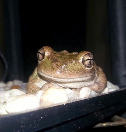 cuban tree frog 2 - 6-2-2014