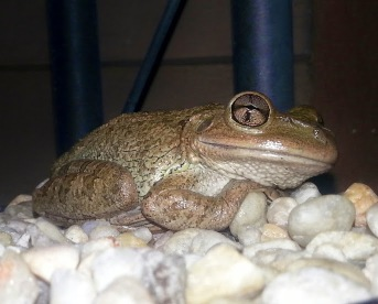 cuban tree frog 6-2-2014