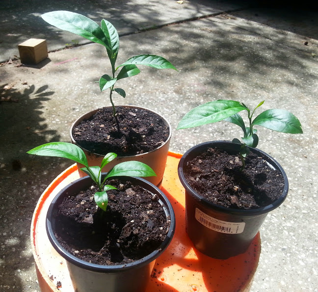Three meyerlemon seeds sitting in a pot ya chit chat for What does a lemon tree seedling look like
